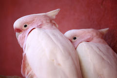 главное mitchell parrots пинк Стоковые Фотографии RF