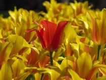 Главным образом красный тюльпан между желтыми Striped тюльпанами стоковое фото rf