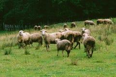 Главным образом Spooked овцы стоковая фотография rf