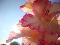 Гладиолус первый помин этого цветка датирует назад к первому веку ДО РОЖДЕСТВА ХРИСТОВА стоковое изображение