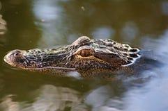 глаза аллигатора Стоковое фото RF