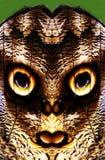 Глаза бабочки сыча Стоковые Изображения