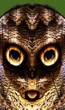 Глаза бабочки сыча Стоковые Изображения RF