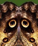 Глаза бабочки сыча Стоковое Фото