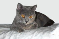 Глаза желтого цвета великобританского кота стоковые изображения