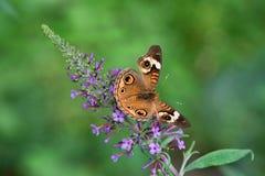 Глаза имеют его: Земли бабочки конского каштана на фиолетовом кусте бабочки Стоковое Фото