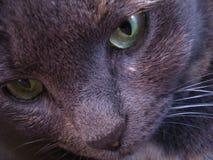 глаза кота зеленеют серое portratit Стоковая Фотография
