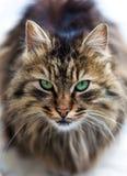 Глаза кота Стоковые Изображения RF