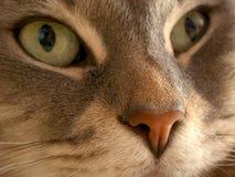 глаза котов Стоковая Фотография RF