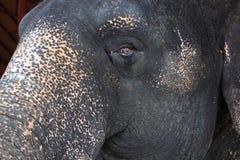 Глаза слона от Таиланда стоковые изображения
