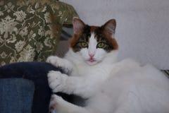Глаза смешного милого кота зеленые точат когти стоковые изображения