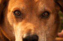 Глаза собаки Стоковая Фотография