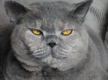 Глаза стороны кота родословной золотые стоковое изображение rf