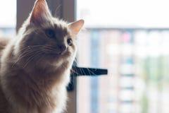 Глаза счастливые оранжевые кота его любимая игрушка стоковое фото