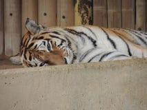 Глаза тигра стоковые фотографии rf