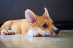 Глаза щенка и лапки Стоковое фото RF