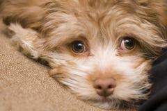 глаза breed смешивают щенка унылого стоковые фото