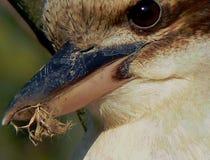Глаза Kookaburra Стоковое фото RF