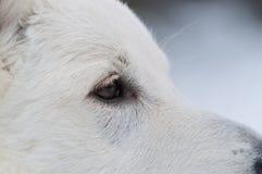 Глаз белой собаки чабана Стоковая Фотография RF