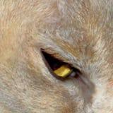 Глаз бирманского кота Стоковая Фотография