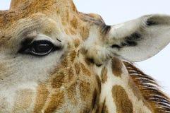 Глаз жирафа, деталь головы жирафа с мехом, ухо и грива Стоковая Фотография RF