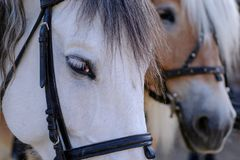 Глаз и намордник белой лошади Портрет лошади с видом и грустным взглядом, с уздечкой Деталь животных стоковое фото