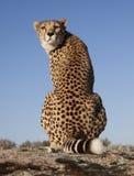 глаз контакта гепарда Стоковое Фото