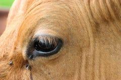 глаз коровы Стоковая Фотография RF