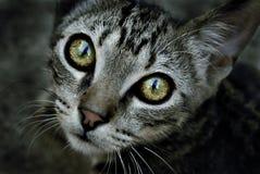 глаз кота Стоковая Фотография RF
