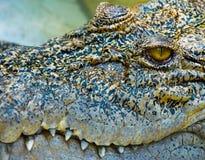 глаз крокодила Стоковое фото RF