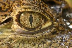 глаз крокодила Стоковое Изображение