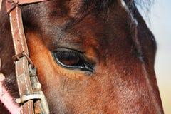 Глаз лошади Стоковая Фотография