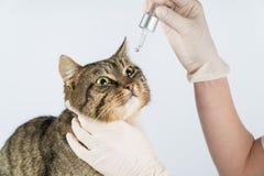 Глаз обслуживания Кот болен заболевание глаза в коте Глаза кота стоковые изображения rf