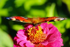Глаз павлина бабочки на zinnia Стоковое фото RF