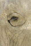 глаз слона Стоковые Фото