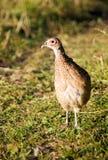 глаз смотря одного фазана Стоковые Фотографии RF