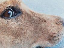 Глаз собаки стоковые фотографии rf
