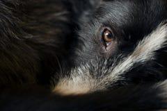 Глаз собаки стоковое фото rf