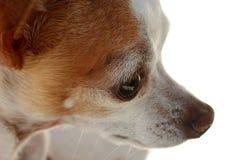 глаз чихуахуа стоковое изображение rf