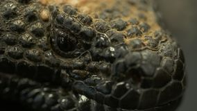 Глаз чудовища Gila сток-видео