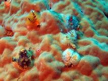 глисты моря жабр Стоковое Изображение