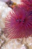 глист вала рождества пурпуровый Стоковые Фото