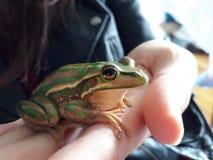 Глобально угрожаемая австралийская лягушка Litorea Aurea Стоковая Фотография RF