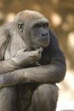 глубокая мысль гориллы стоковое фото rf