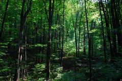 глубокие древесины Стоковая Фотография
