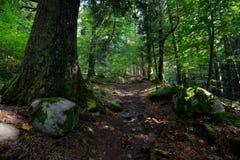 Глубокий лес в горах Вогезы стоковое фото rf