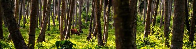 Глубокий лес в Шри-Ланке с коровой на предпосылке Стоковое Изображение RF
