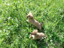 2 глупых собаки бежать в высокой траве стоковое фото