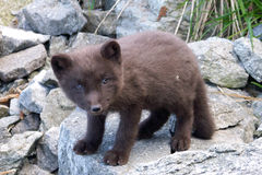 глушь ледовитой лисицы приполюсная неисследовательная Стоковые Фотографии RF