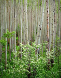 глушь maroon рощи dogwood колоколов осины Стоковое Изображение